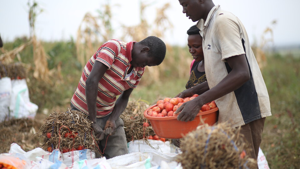 Rwandan farmers reap the benefits of irrigation.