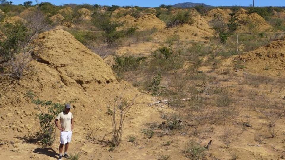 A researcher stands among the termite mounds in Brazil's Caatinga forest. Nebraska's Paul Hanson helped determine the age of the termite mounds.